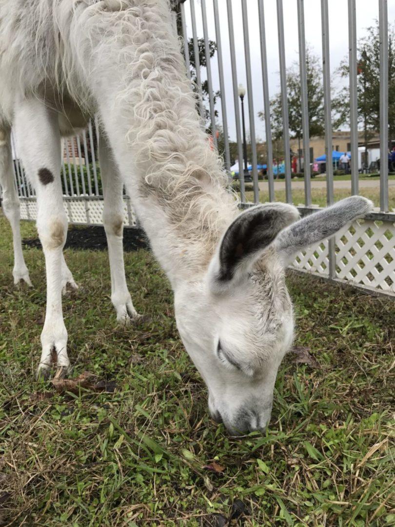 Texas Birthday Bash Petting Zoo Llama