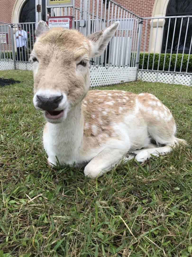 Texas Birthday Bash Petting Zoo Deer
