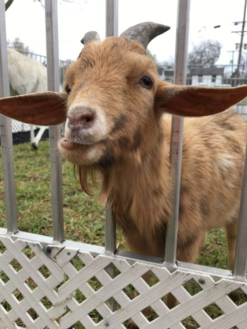 Texas Birthday Bash Petting Zoo Goat