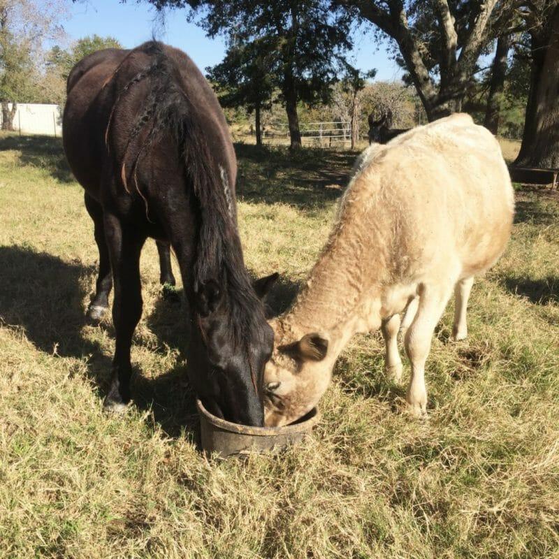 Mustang and cows sharing food