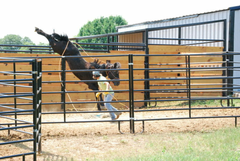 Adoption day 1 of a BLM Mustang