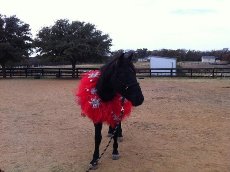 BLM mustang in a christmas tutu.