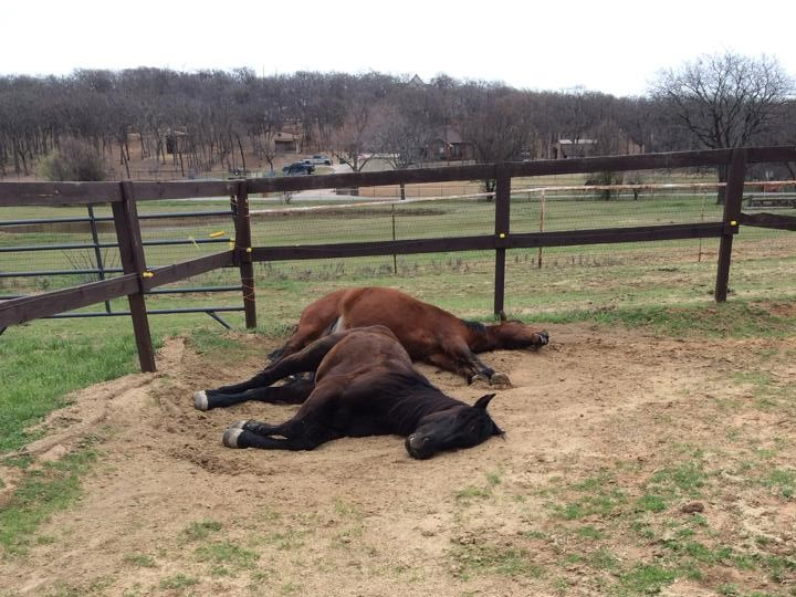 BLM Mustangs napping in the sunshine