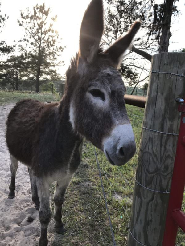 An adopted BLM burro after training