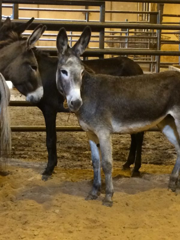 BLM Burro on adoption day in Fort Worth