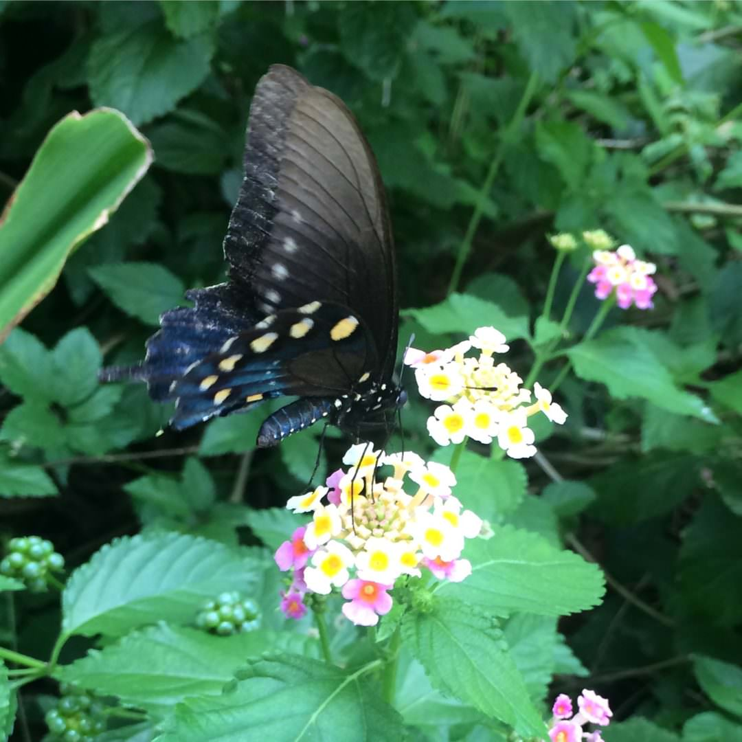 Butterfly on a Lantana flowering bush