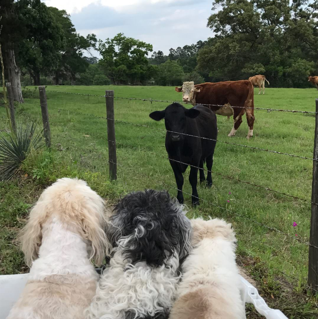 dogs sitting in basket on 4 wheeler with cows behind the fence