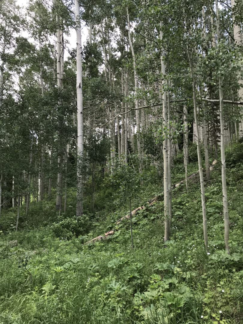Aspen trees in Colorado